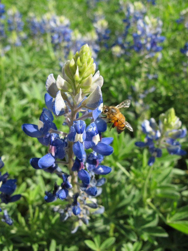 Picture of Bee on a Bluebonnet in Texas